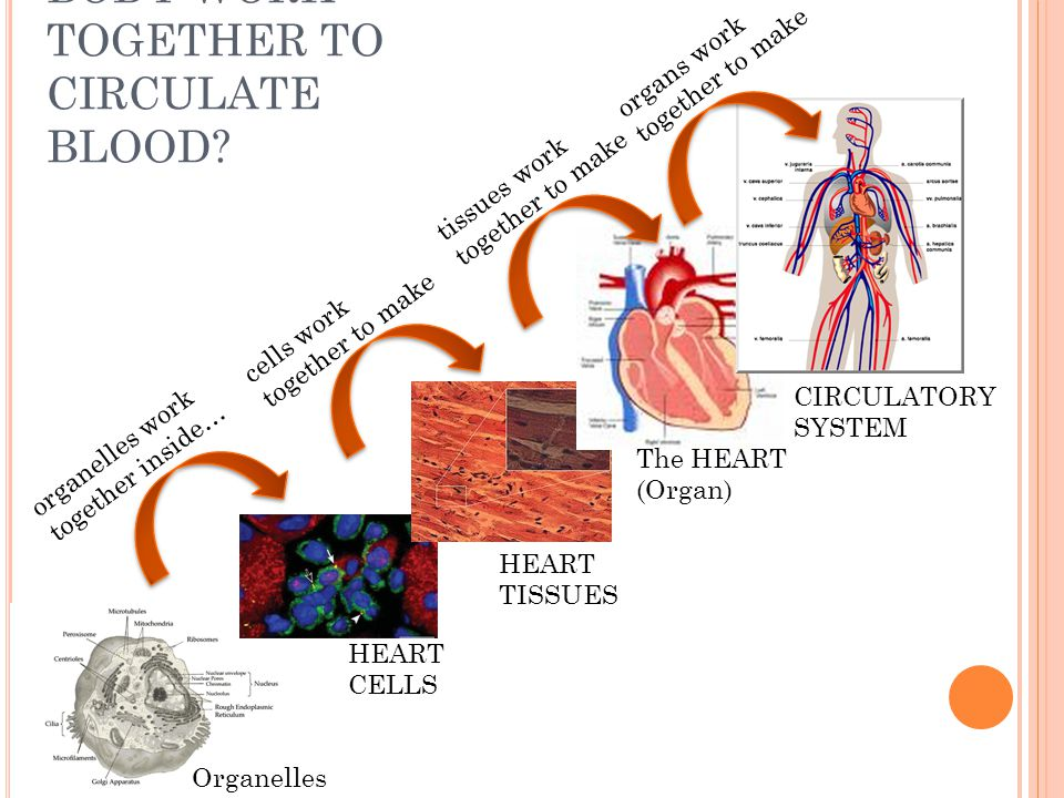 HOW DOES OUR BODY WORK TOGETHER TO CIRCULATE BLOOD? organelles work together inside… HEART CELLS HEART TISSUES The HEART (Organ) CIRCULATORY SYSTEM ce
