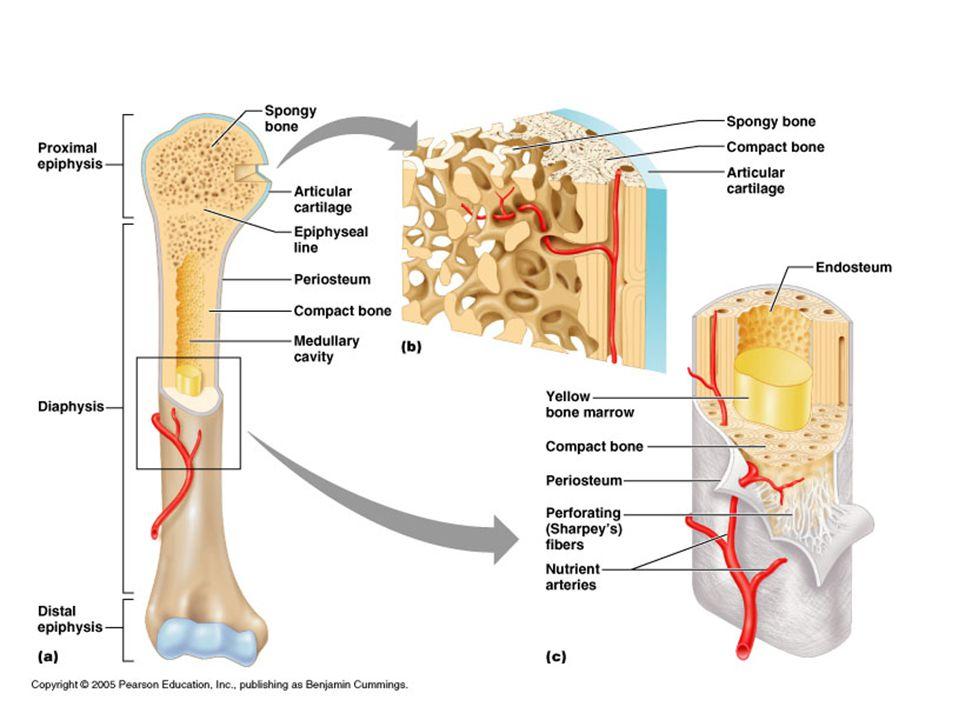 Long Bones Contain Spongy and Compact Bone.