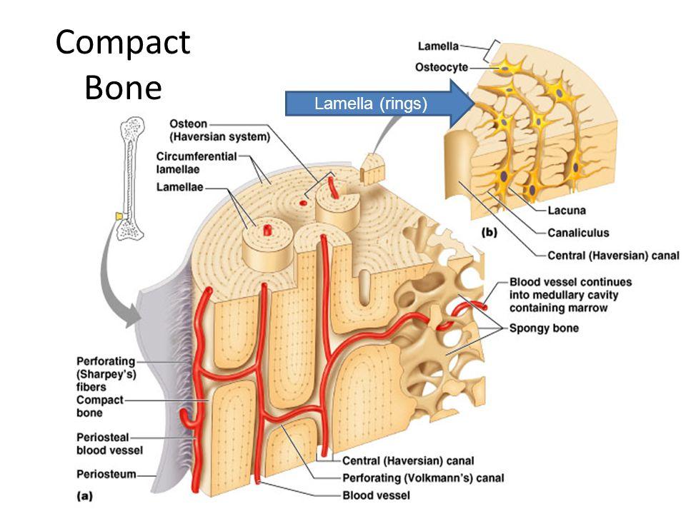 Compact Bone Lamella (rings)