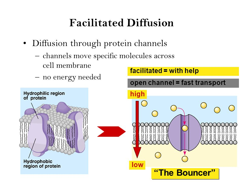 Channels through cell membrane Membrane becomes semi-permeable with protein channels –specific channels allow specific material across cell membrane inside cell outside cell sugaraa H2OH2O salt NH 3