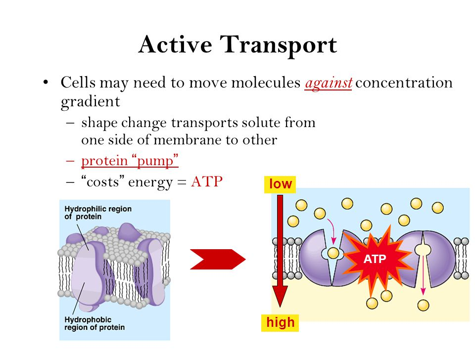 Facilitated Diffusion Diffusion through protein channels –channels move specific molecules across cell membrane –no energy needed The Bouncer open channel = fast transport facilitated = with help high low