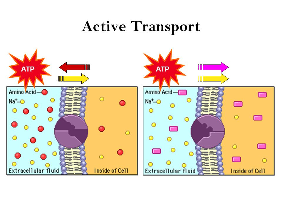 Active Transport Cells may need to move molecules against concentration gradient –shape change transports solute from one side of membrane to other –protein pump – costs energy = ATP ATP low high