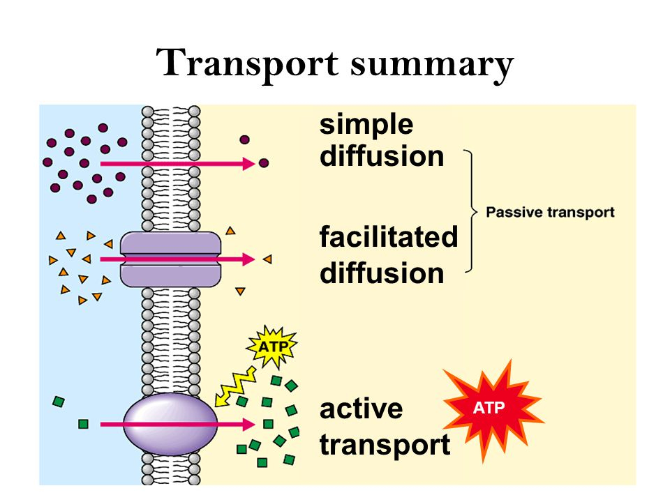 Getting through cell membrane Passive Transport –Simple diffusion diffusion of nonpolar, hydrophobic molecules –lipids –high  low concentration gradient –Facilitated diffusion diffusion of polar, hydrophilic molecules through a protein channel –high  low concentration gradient Active transport –diffusion against concentration gradient low  high –uses a protein pump –requires ATP ATP