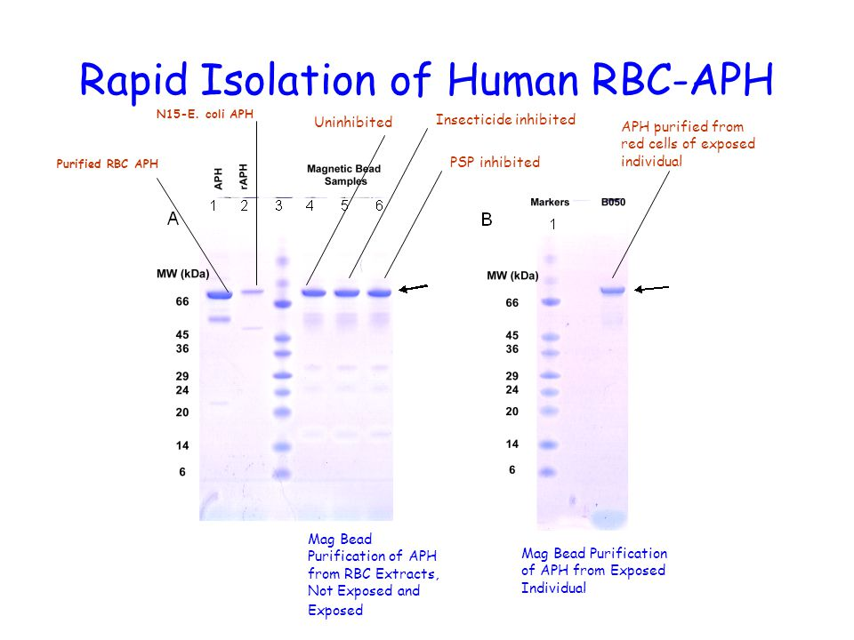Rapid Isolation of Human RBC-APH Mag Bead Purification of APH from Exposed Individual Mag Bead Purification of APH from RBC Extracts, Not Exposed and Exposed Insecticide inhibited PSP inhibited N15-E.