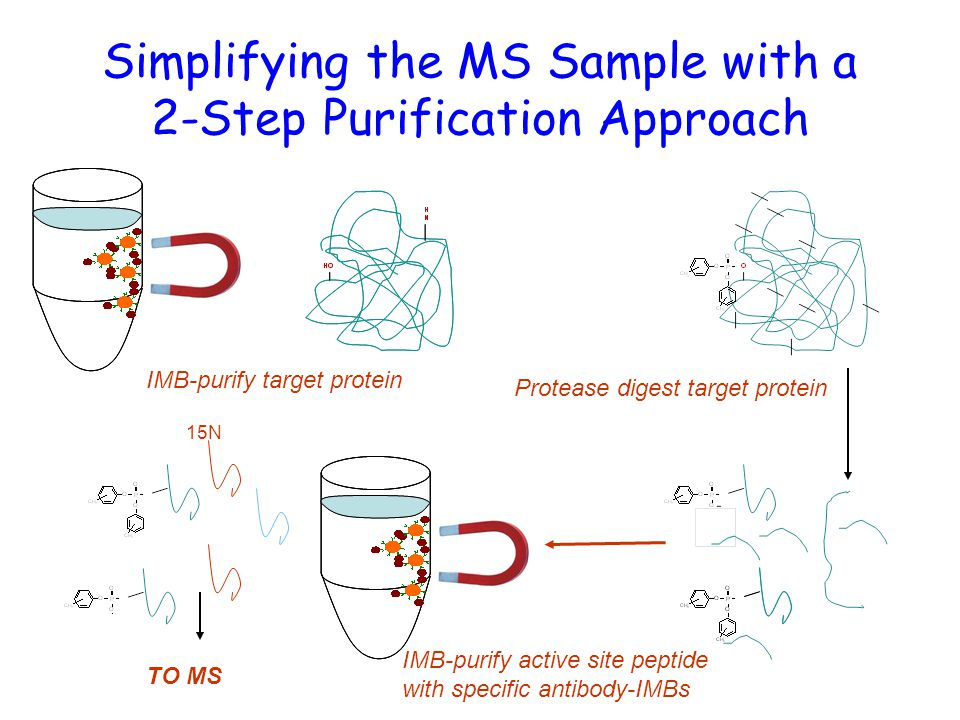 Simplifying the MS Sample with a 2-Step Purification Approach IMB-purify target protein Protease digest target protein IMB-purify active site peptide with specific antibody-IMBs 15N TO MS