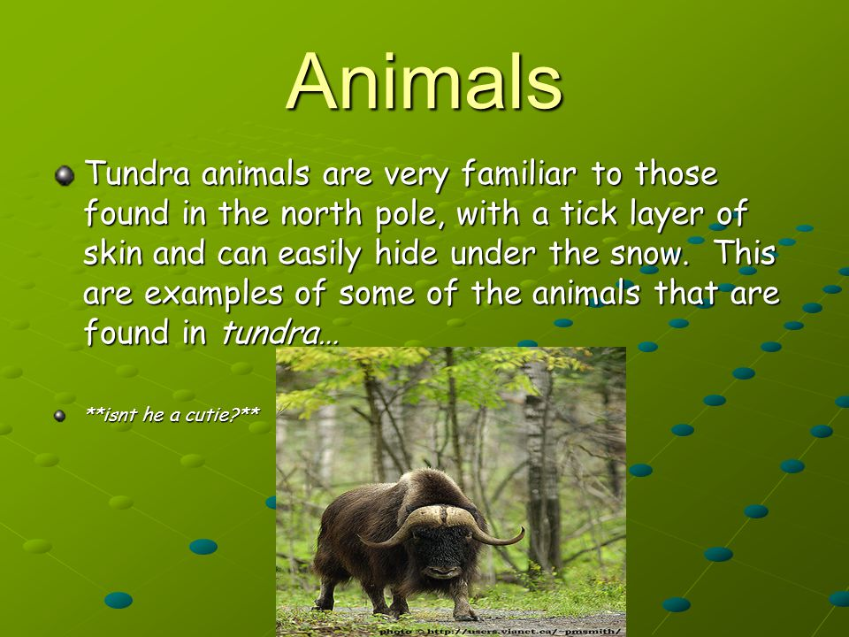 Animals Tundra animals are very familiar to those found in the north pole, with a tick layer of skin and can easily hide under the snow.