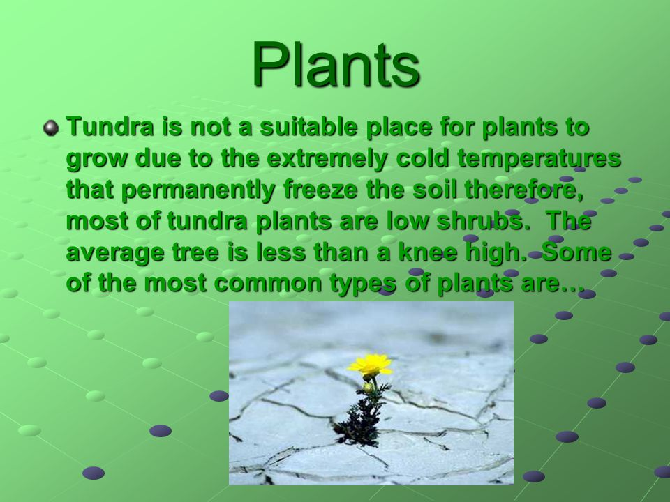 Plants Tundra is not a suitable place for plants to grow due to the extremely cold temperatures that permanently freeze the soil therefore, most of tu