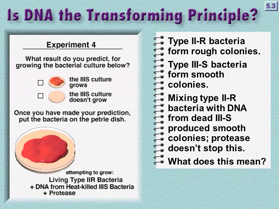 Type II-R bacteria form rough colonies. Type III-S bacteria form smooth colonies.