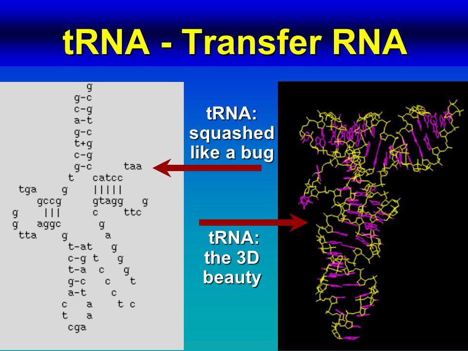 tRNA - Transfer RNA tRNA: squashed like a bug tRNA: the 3D beauty tRNA: the 3D beauty