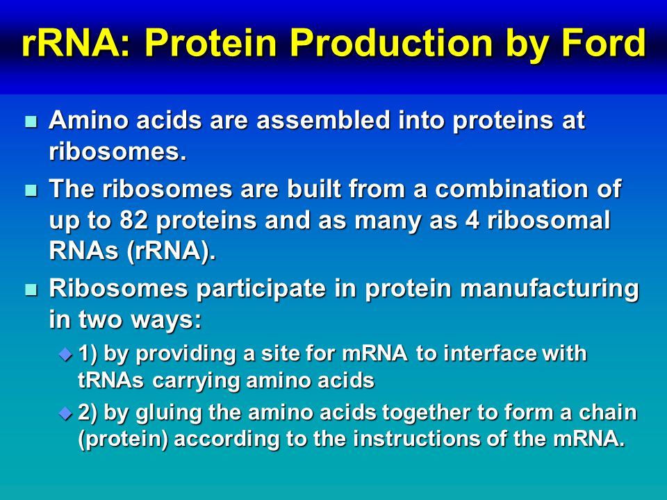 rRNA: Protein Production by Ford n Amino acids are assembled into proteins at ribosomes.