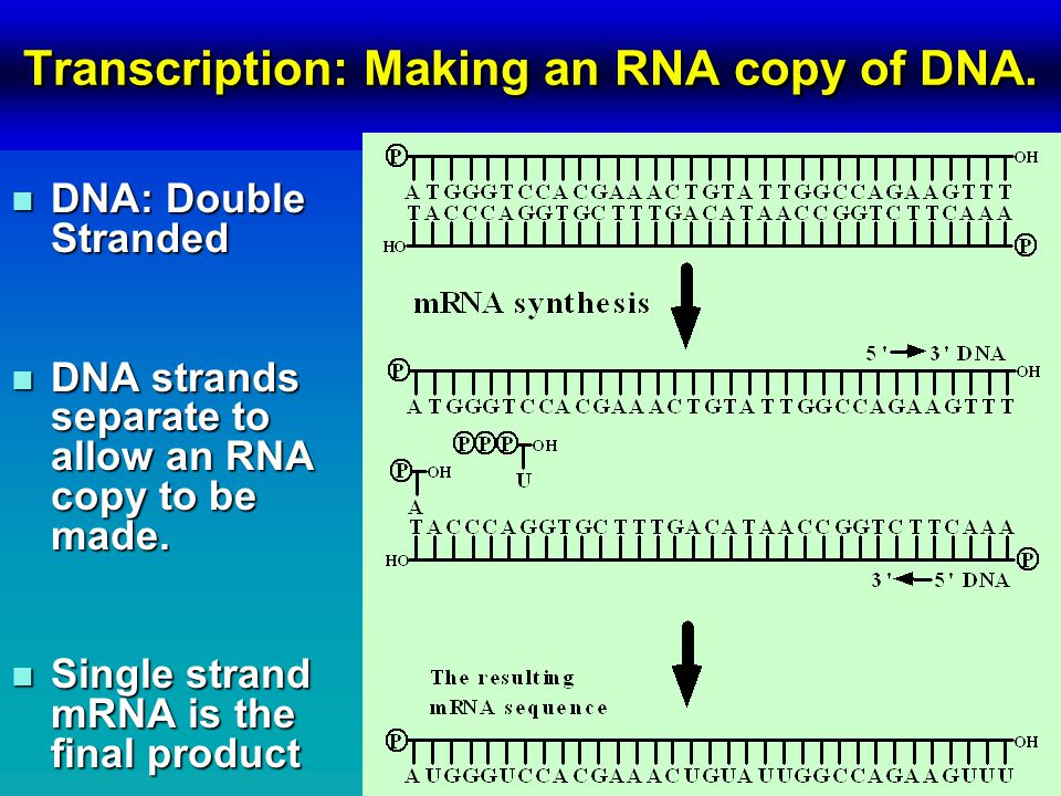 Transcription: Making an RNA copy of DNA.