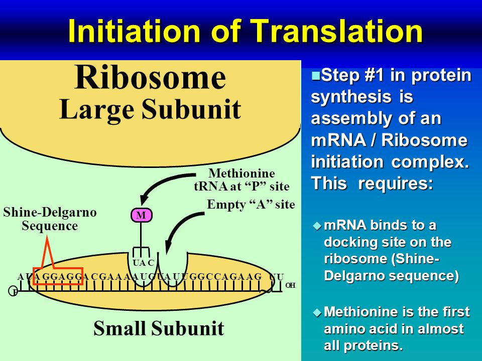 Initiation of Translation n Step #1 in protein synthesis is assembly of an mRNA / Ribosome initiation complex.