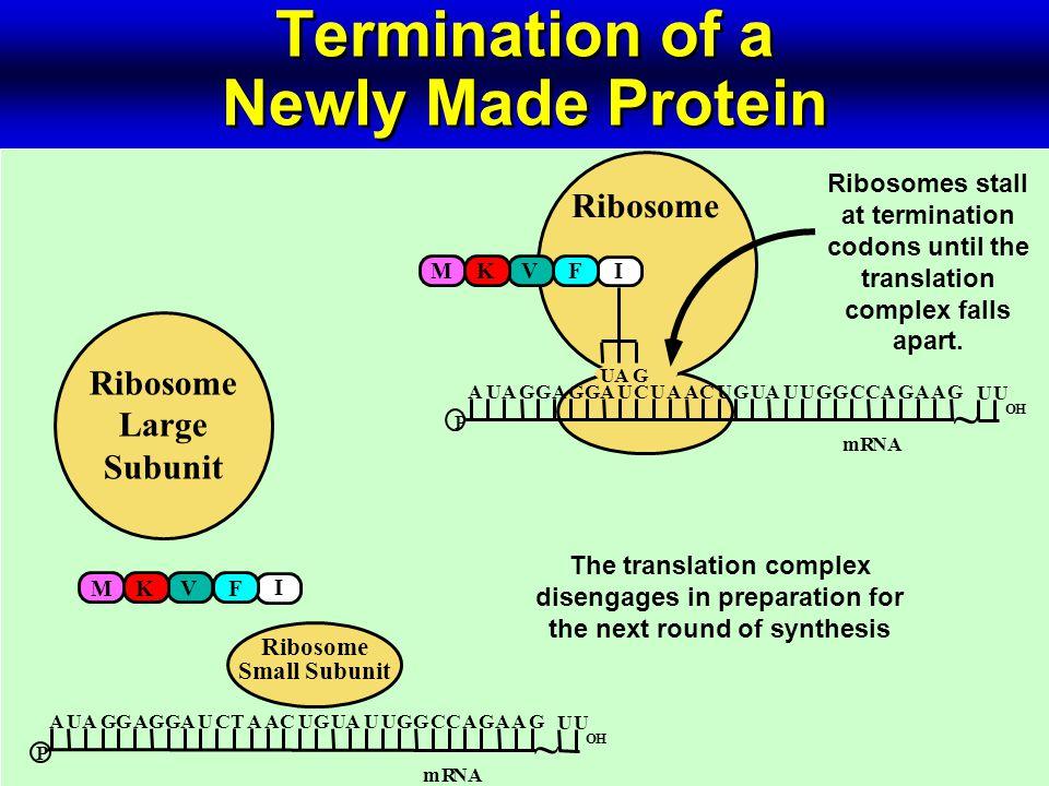 P OH UAAUGAGUGUGACAUGACUGAUGAC U GAC U GA ~ UAG I mRNA Ribosome Termination of a Newly Made Protein MKVF Ribosomes stall at termination codons until the translation complex falls apart.