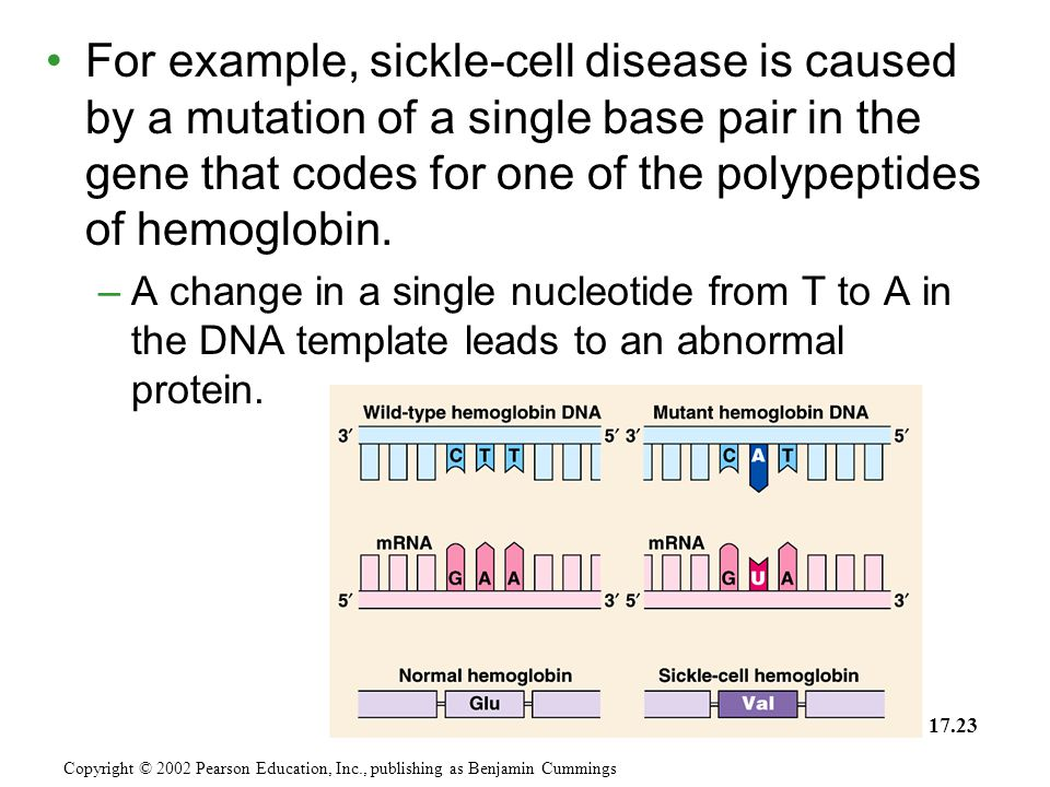 For example, sickle-cell disease is caused by a mutation of a single base pair in the gene that codes for one of the polypeptides of hemoglobin. –A ch