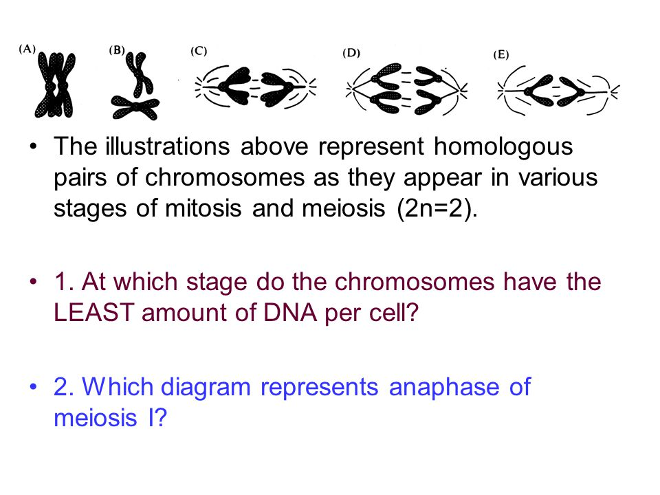 The illustrations above represent homologous pairs of chromosomes as they appear in various stages of mitosis and meiosis (2n=2). 1. At which stage do