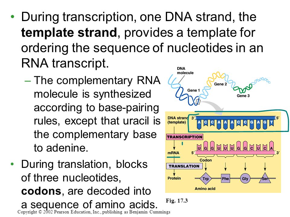 During transcription, one DNA strand, the template strand, provides a template for ordering the sequence of nucleotides in an RNA transcript. –The com