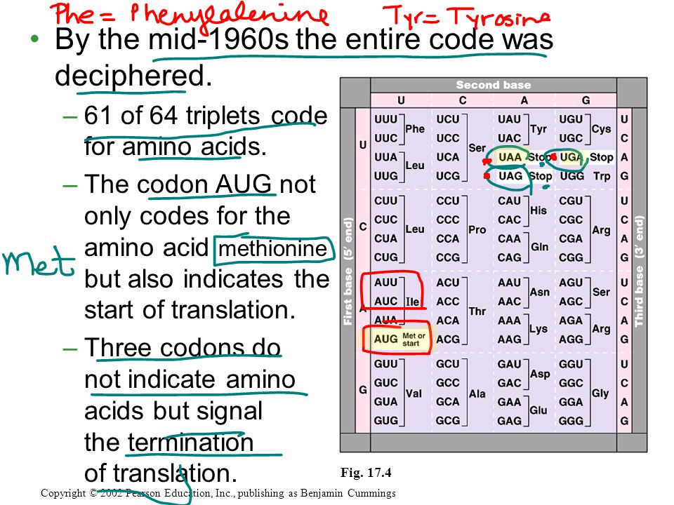 By the mid-1960s the entire code was deciphered. –61 of 64 triplets code for amino acids. –The codon AUG not only codes for the amino acid methionine