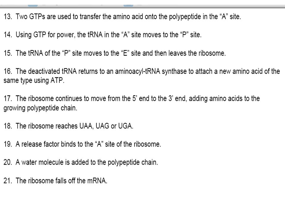 Elongation consists of a series of three step cycles as each amino acid is added to the proceeding one.