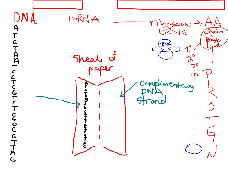 During translation, the codons are read in the 5'->3' direction along the mRNA.