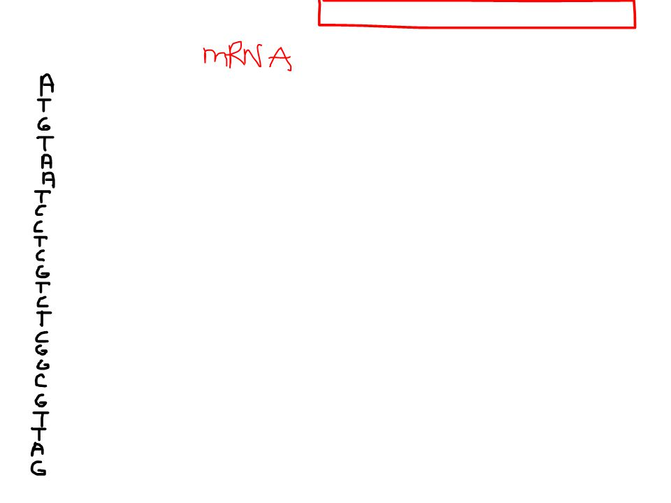 Write the mRNA and the AA chain ATTTACCCGGGGAAAATATACGGCGATTCA-original ATTTACCGGGGGAAAATATACGGCGATTCA-point mutation
