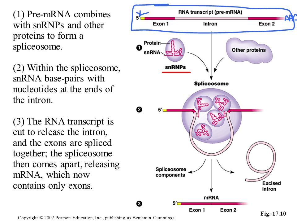 Fig. 17.10 (1) Pre-mRNA combines with snRNPs and other proteins to form a spliceosome. (2) Within the spliceosome, snRNA base-pairs with nucleotides a