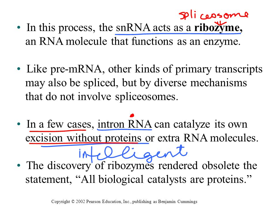 In this process, the snRNA acts as a ribozyme, an RNA molecule that functions as an enzyme. Like pre-mRNA, other kinds of primary transcripts may also