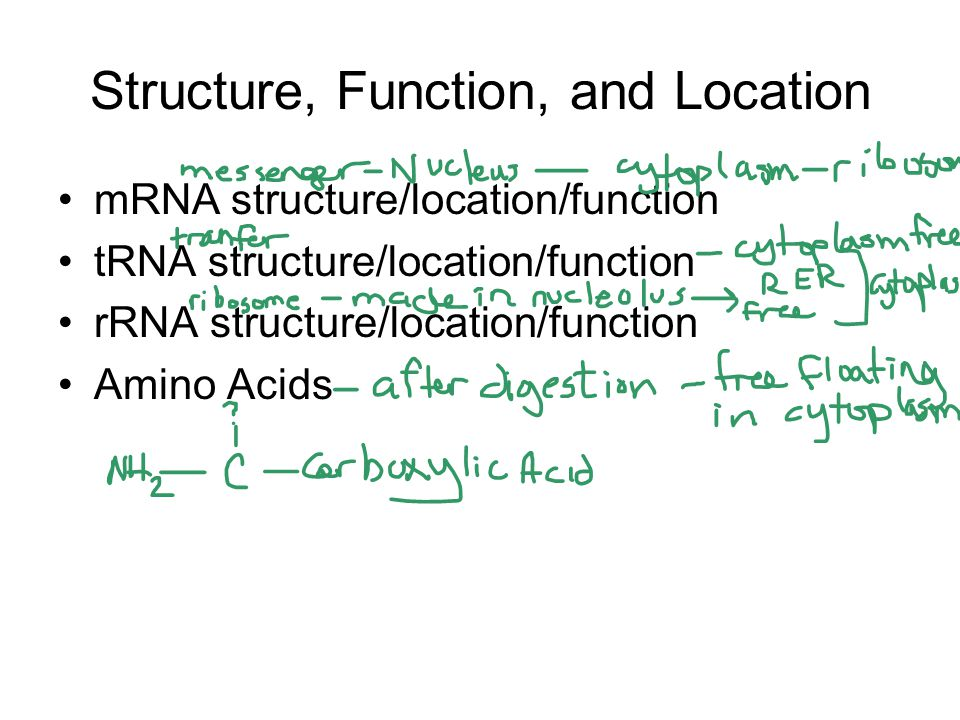Structure, Function, and Location mRNA structure/location/function tRNA structure/location/function rRNA structure/location/function Amino Acids
