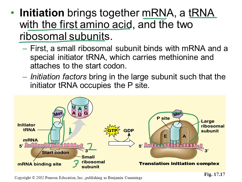 Initiation brings together mRNA, a tRNA with the first amino acid, and the two ribosomal subunits. –First, a small ribosomal subunit binds with mRNA a