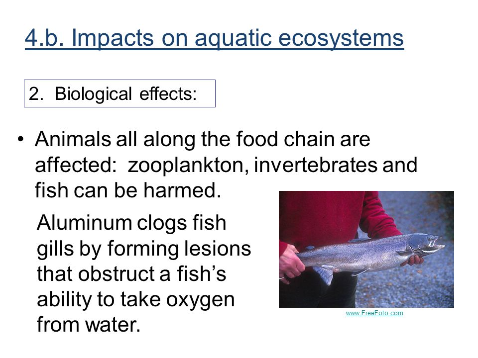 Animals all along the food chain are affected: zooplankton, invertebrates and fish can be harmed. Aluminum clogs fish gills by forming lesions that ob
