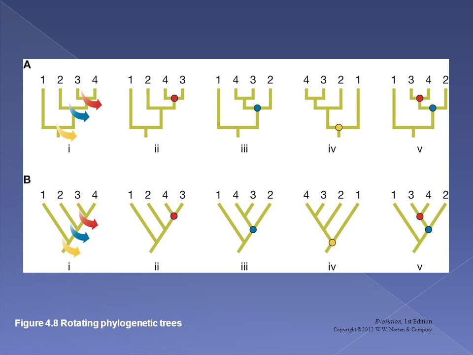 Evolution, 1st Edition Copyright © 2012 W.W. Norton & Company Figure 4.8 Rotating phylogenetic trees