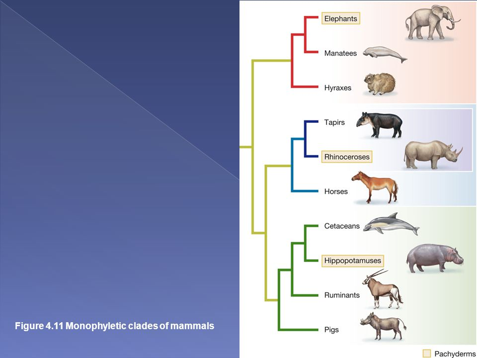 Evolution, 1st Edition Copyright © 2012 W.W. Norton & Company Figure 4.11 Monophyletic clades of mammals