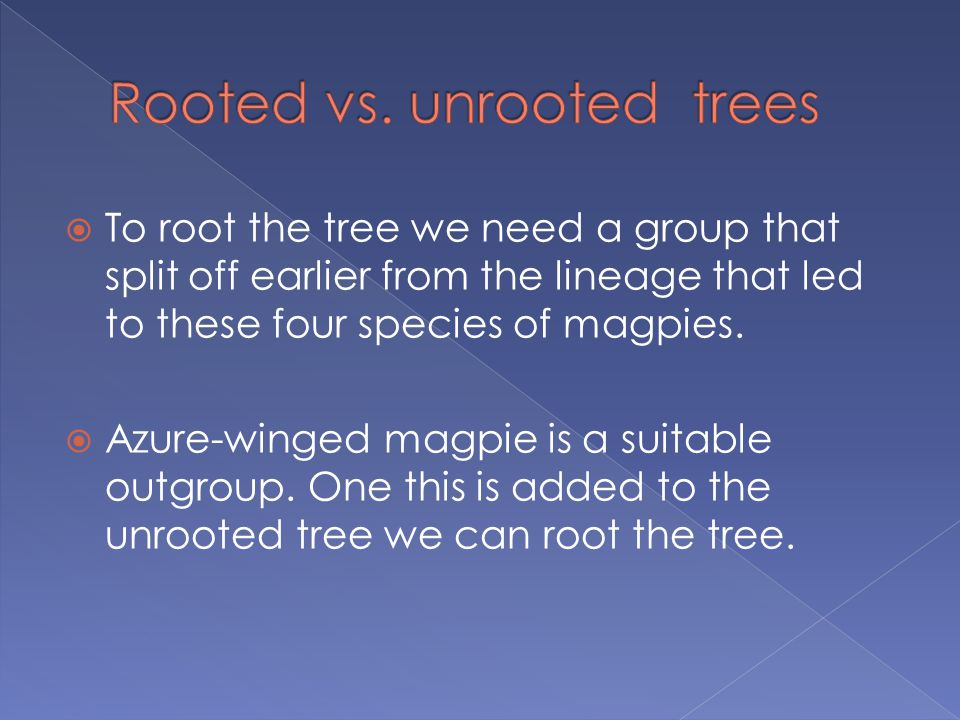  To root the tree we need a group that split off earlier from the lineage that led to these four species of magpies.  Azure-winged magpie is a suita