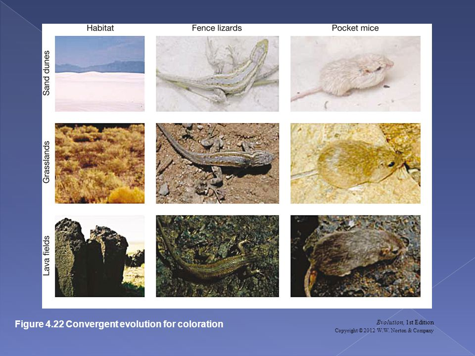 Evolution, 1st Edition Copyright © 2012 W.W. Norton & Company Figure 4.22 Convergent evolution for coloration