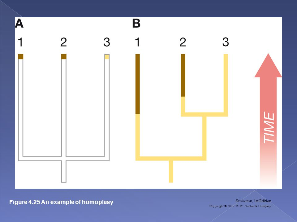 Evolution, 1st Edition Copyright © 2012 W.W. Norton & Company Figure 4.25 An example of homoplasy
