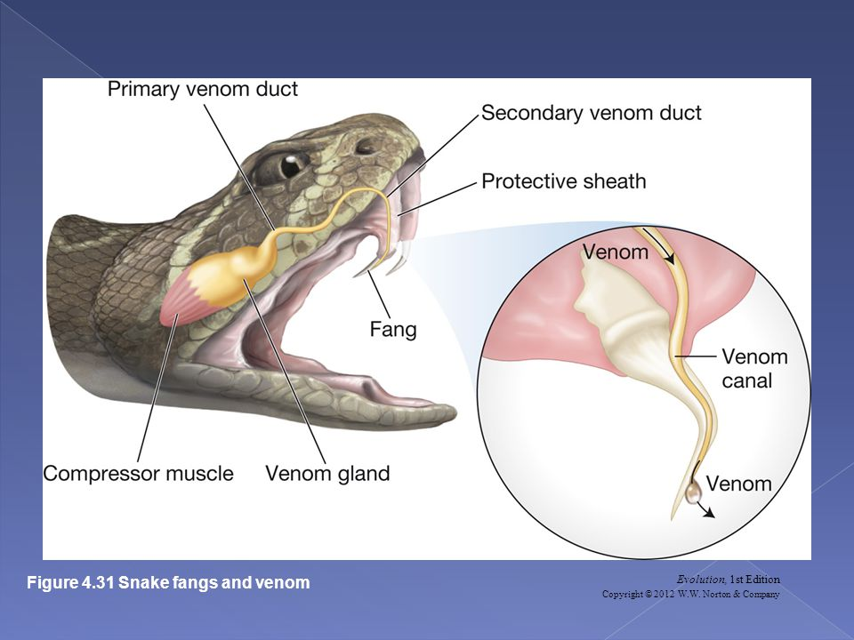Evolution, 1st Edition Copyright © 2012 W.W. Norton & Company Figure 4.31 Snake fangs and venom