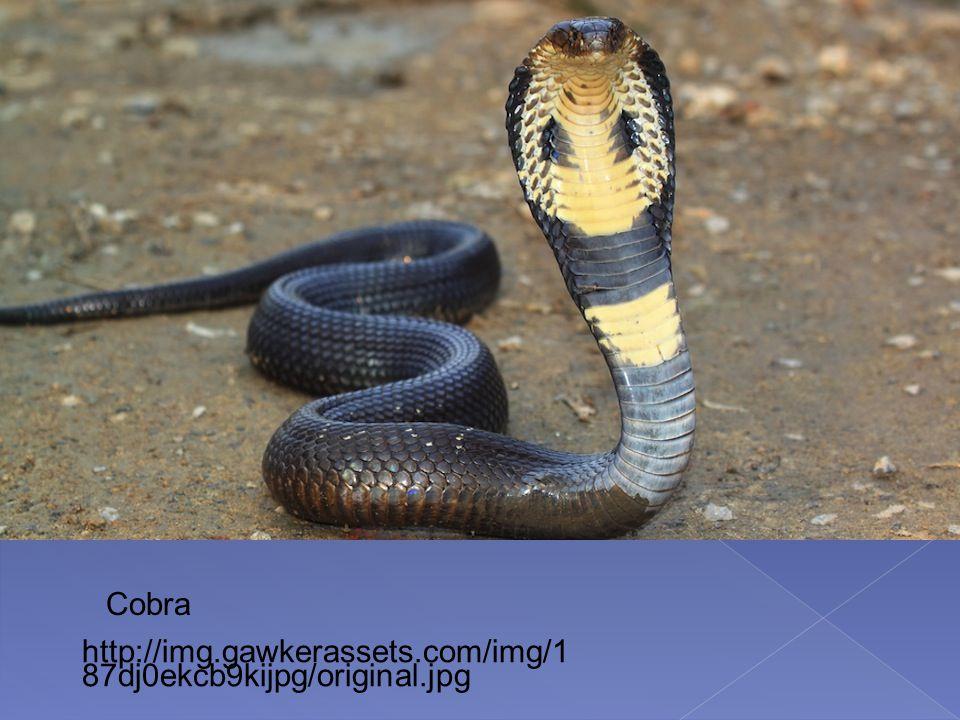http://img.gawkerassets.com/img/1 87dj0ekcb9kijpg/original.jpg Cobra