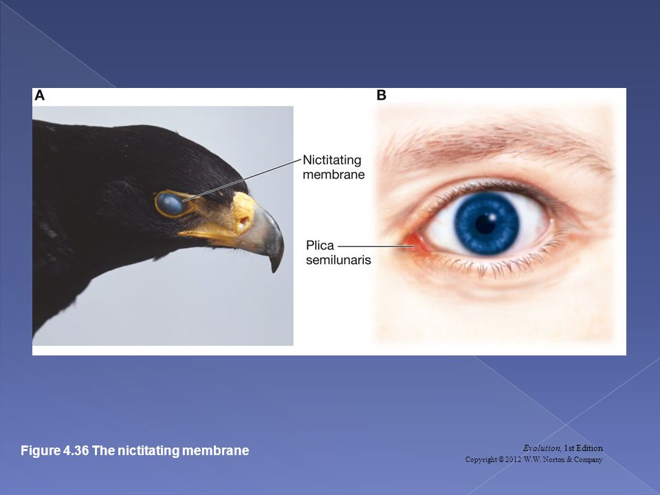 Evolution, 1st Edition Copyright © 2012 W.W. Norton & Company Figure 4.36 The nictitating membrane