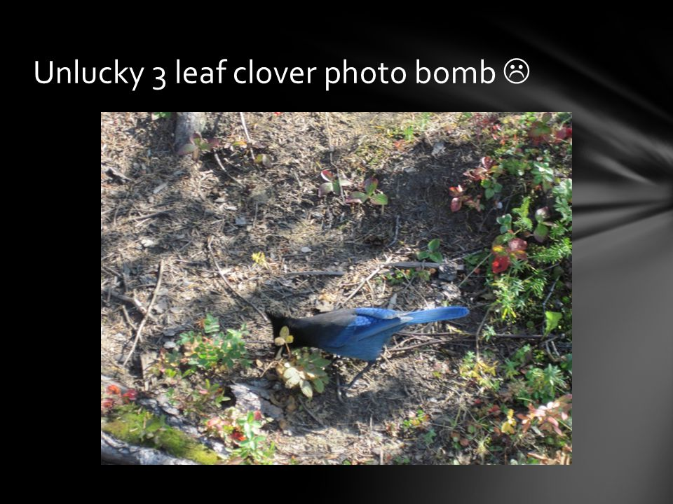 Unlucky 3 leaf clover photo bomb 