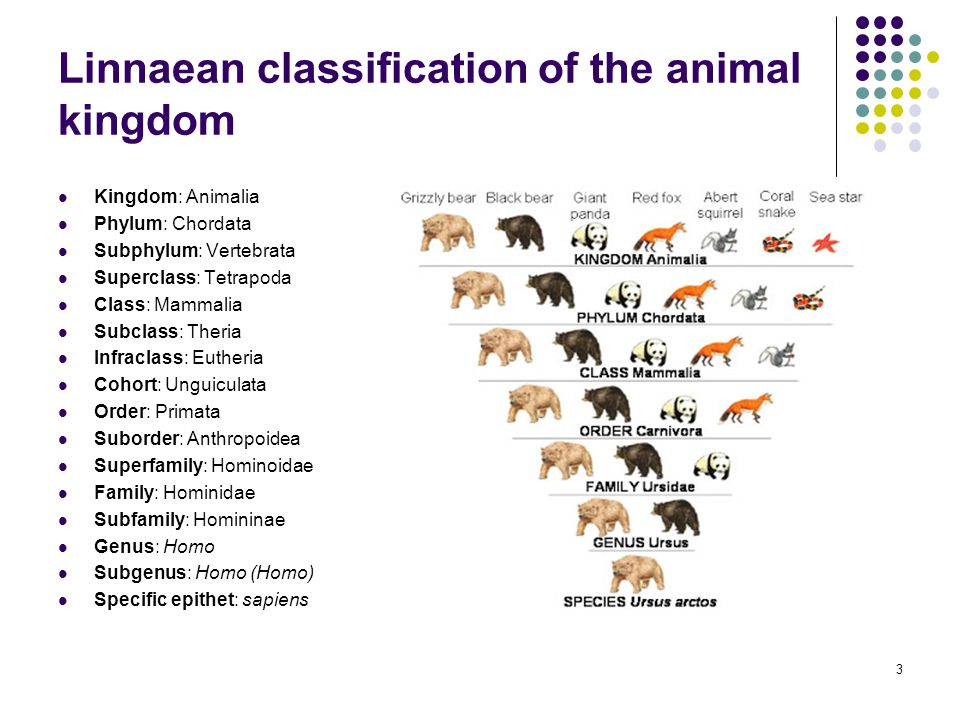 Linnaean classification of the animal kingdom Kingdom: Animalia Phylum: Chordata Subphylum: Vertebrata Superclass: Tetrapoda Class: Mammalia Subclass: Theria Infraclass: Eutheria Cohort: Unguiculata Order: Primata Suborder: Anthropoidea Superfamily: Hominoidae Family: Hominidae Subfamily: Homininae Genus: Homo Subgenus: Homo (Homo) Specific epithet: sapiens 3