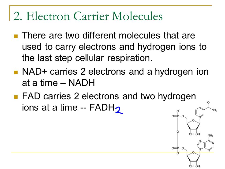 2. Electron Carrier Molecules There are two different molecules that are used to carry electrons and hydrogen ions to the last step cellular respirati