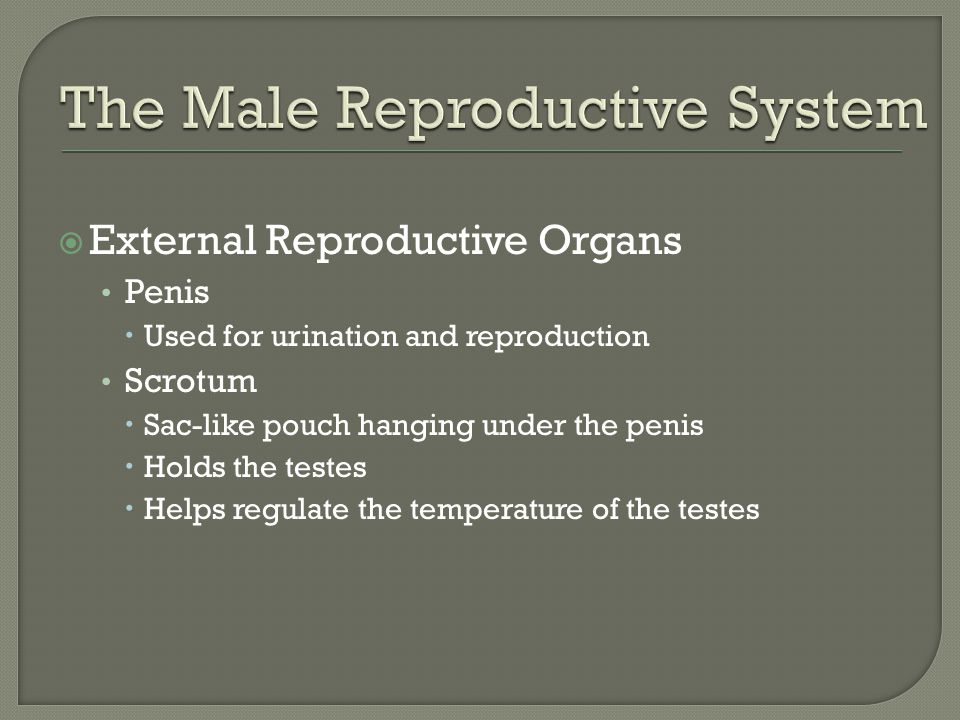  External Reproductive Organs Penis  Used for urination and reproduction Scrotum  Sac-like pouch hanging under the penis  Holds the testes  Helps