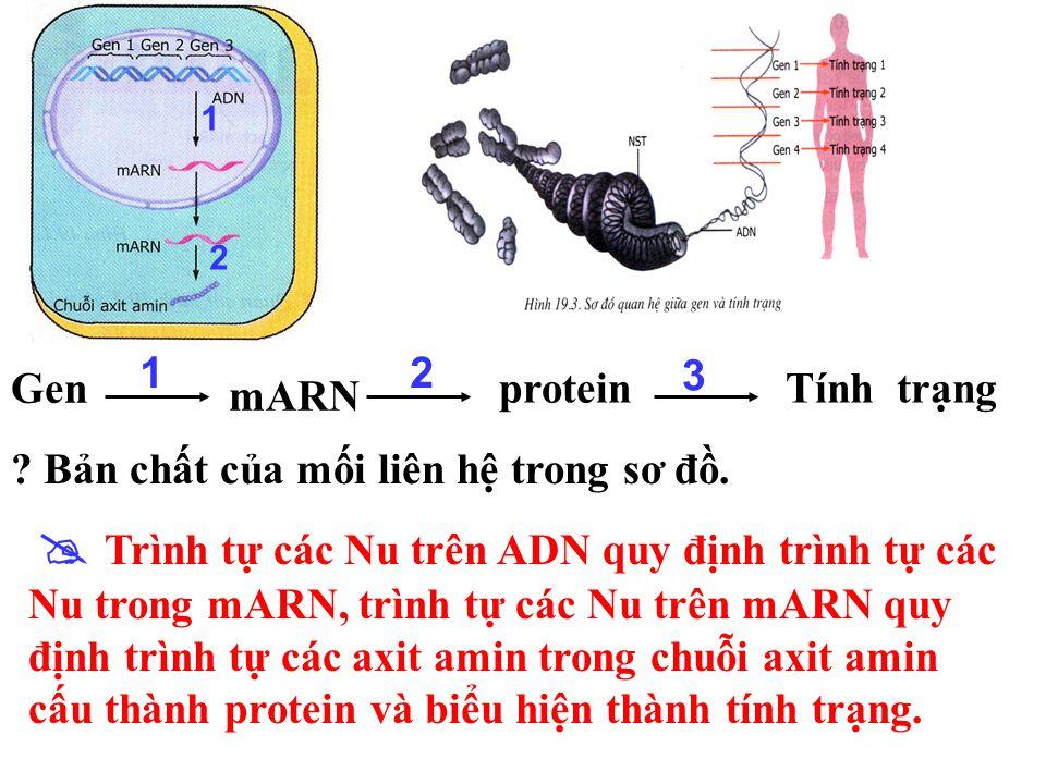 Gen mARN proteinTính trạng 12 3 . Mối liên hệ giữa các thành phần trong sơ đồ theo trật tự 1, 2, 3.