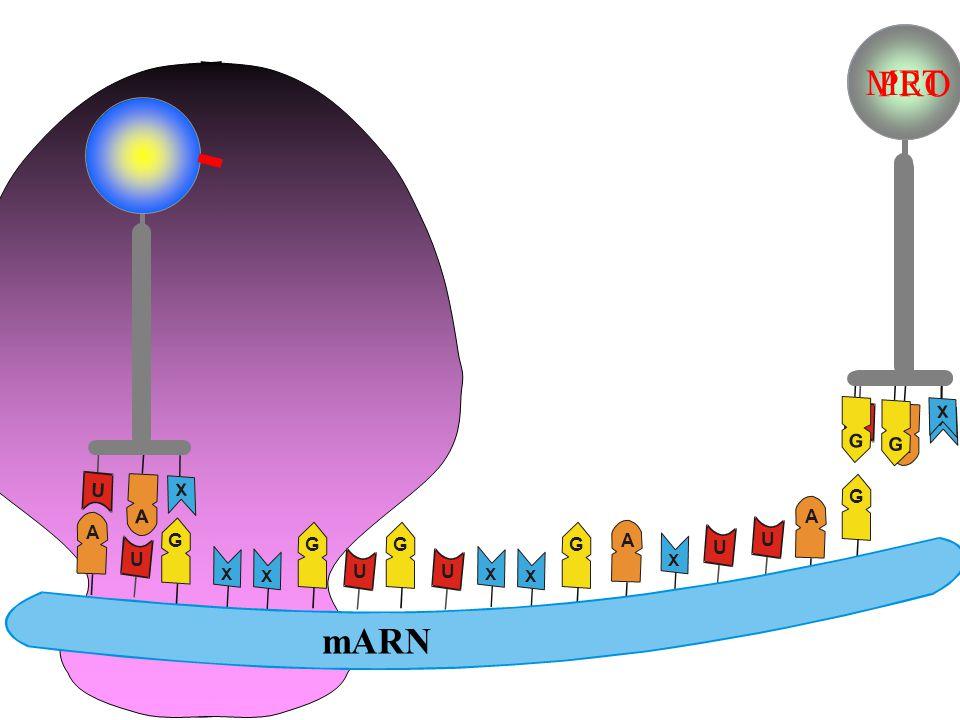 G G X ribôxôm MET 1 loaïi axit amin tARN nuclêotit