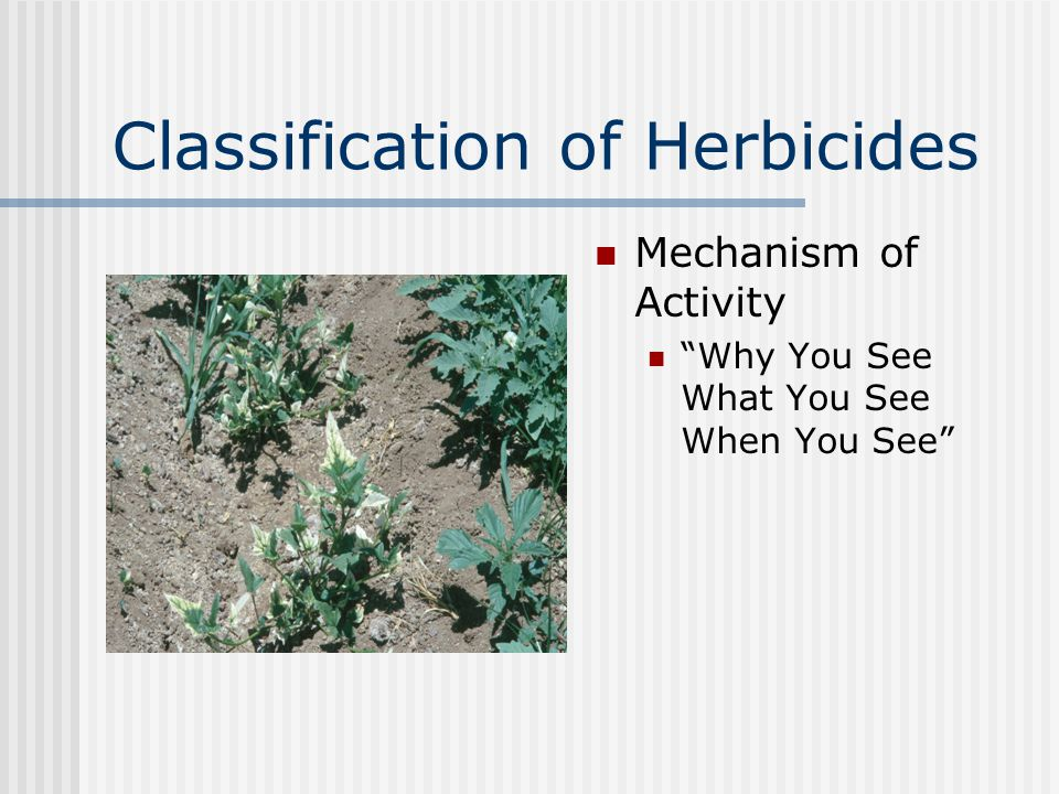 Classification of Herbicides Mechanism of Activity Why You See What You See When You See