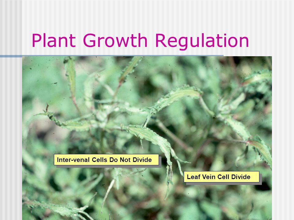 Plant Growth Regulation Leaf Vein Cell Divide Inter-venal Cells Do Not Divide