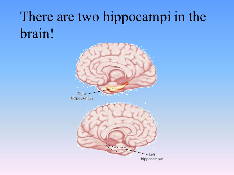 There are two hippocampi in the brain!