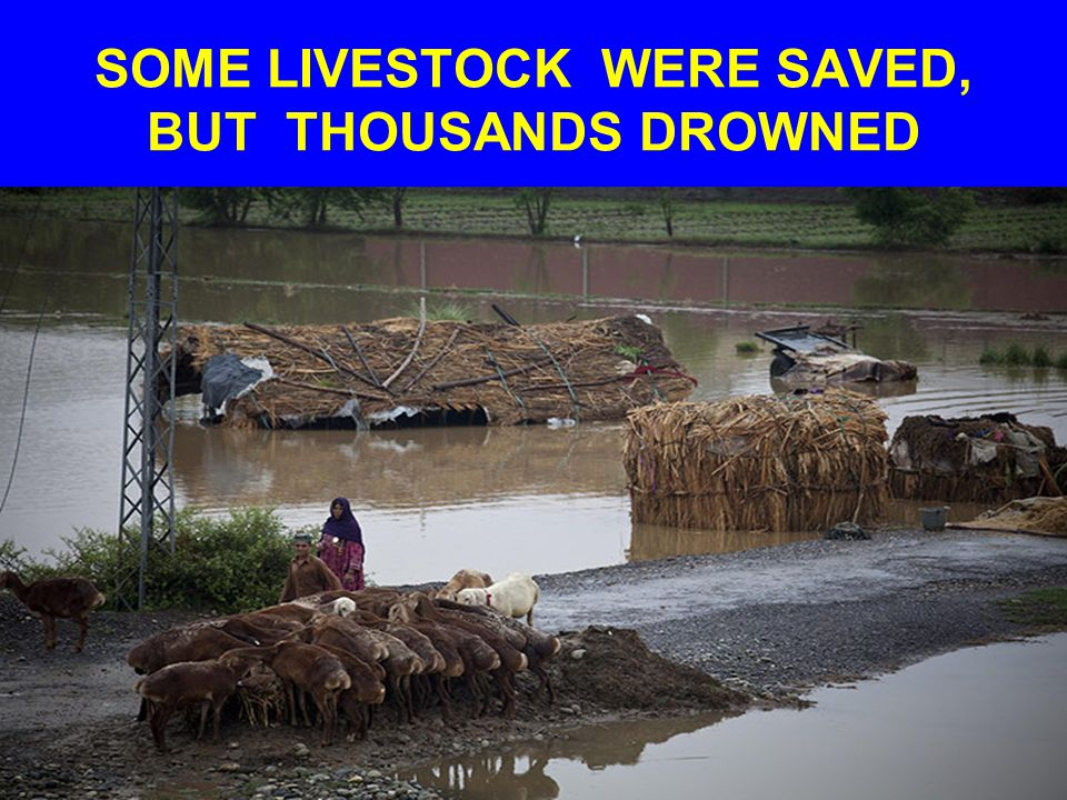 SOME LIVESTOCK WERE SAVED, BUT THOUSANDS DROWNED