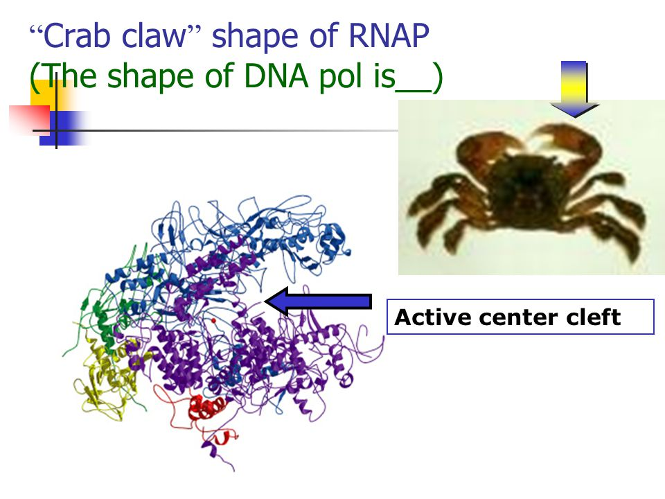 """ Crab claw "" shape of RNAP (The shape of DNA pol is__) Active center cleft"