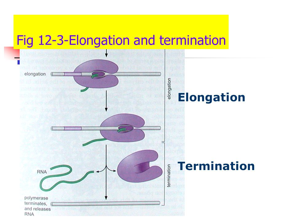 Process 3: Termination Once the length of the gene has been transcribed,the RNA pol must stop and release the product In some cells,there are specific,well- characterized sequences.In other cells,it remains to be seen what instructs the termination