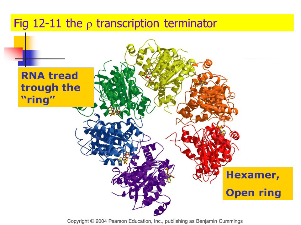 Topic 3 : transcription in eukaryotes
